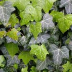 How To Treat Brown Spots On Ivy Leaves? 3 Proven Ways!