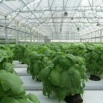 How To Grow Hydroponic Basil? 4 Efficient Steps!
