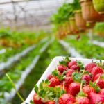 Where Are Strawberries Grown In The UK? The Guide!