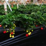 How to Grow Hydroponic Strawberries? The Way!