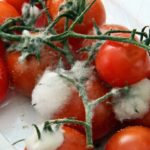 When Do Tomatoes Go Bad? 4 Secret Signs!