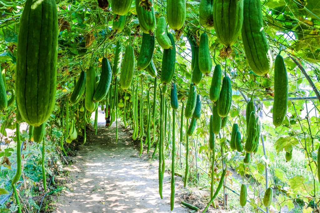 How to Grow Zucchinis Vertically in a Small Garden