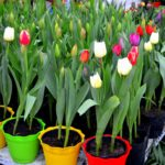 How to Care for Potted Tulips? 4 Bonus Steps!
