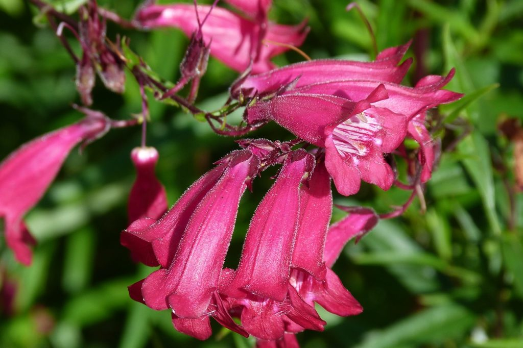Knowing When to Plant Penstemon and How to Grow it