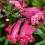 Knowing When to Plant Penstemon? The Trick!