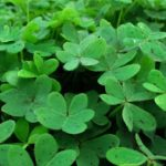 How To Divide A Shamrock Plant? 5 Special Steps!