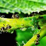 How to Get Rid of Aphids in Your UK Polytunnel? 4 Special Steps!