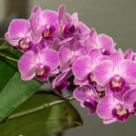 How To Reproduce Phalaenopsis Orchids In The UK? 3 Secret Techniques!