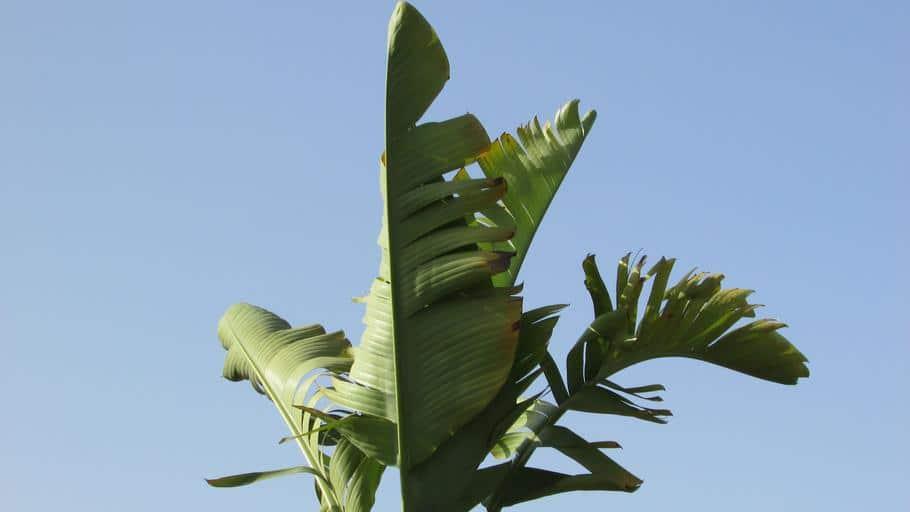 How to Prune a Banana Tree