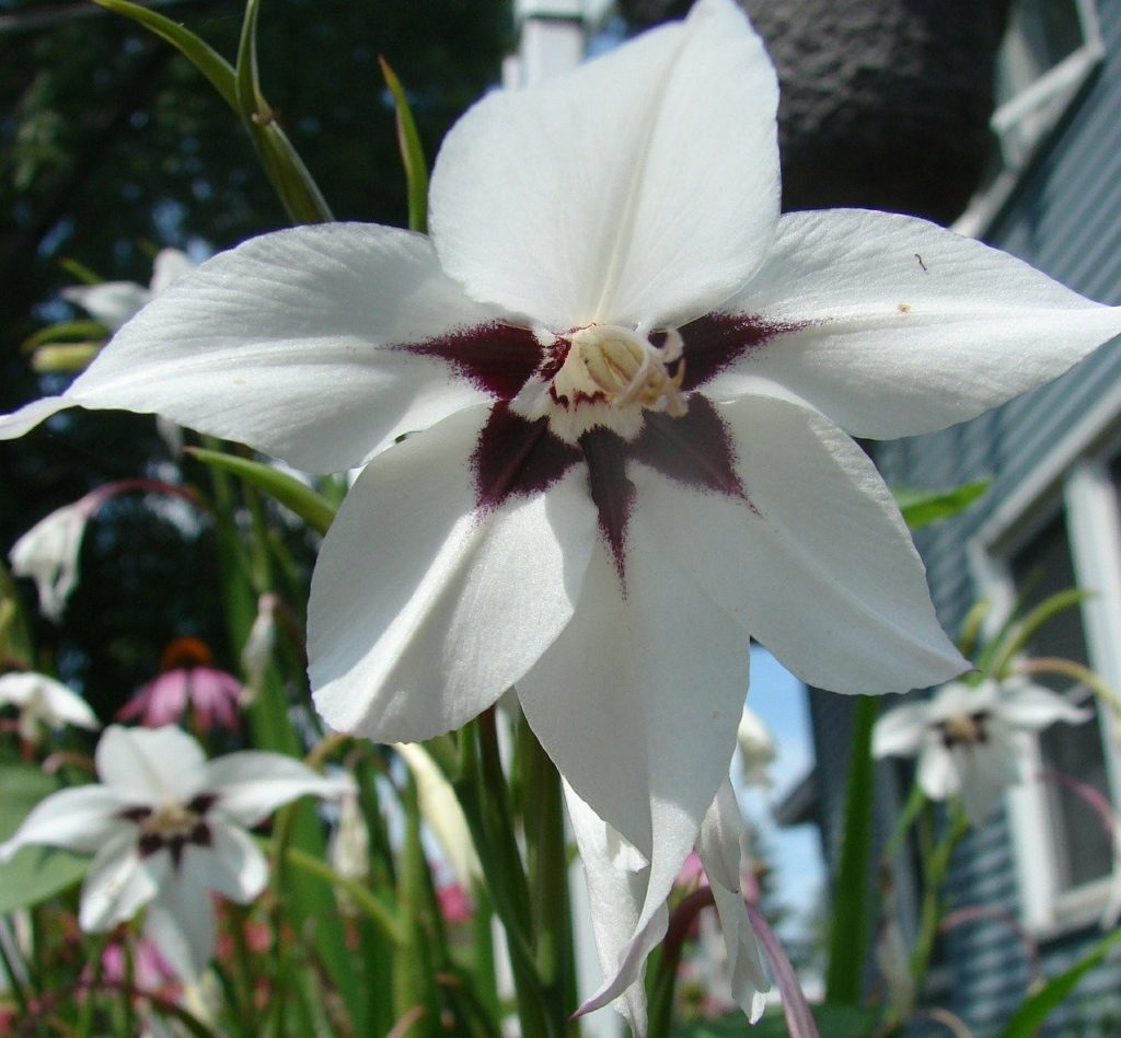 How To Plant Peacock Orchid Bulbs in 3 Easy Steps