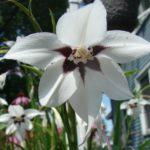 How To Plant Peacock Orchid Bulbs? 3 Bonus Steps!