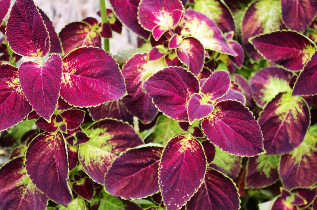 How To Clone A Coleus Plant In 3 Steps