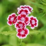 How to Divide Dianthus? 3 Exclusive Steps!