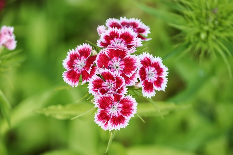 How to Divide Dianthus in 3 Easy Steps