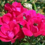 How To Get Rid Of Thrips On Roses? 3 Free Steps!