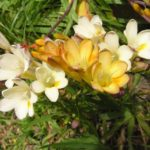 How To Store Freesia Bulbs? 3 Efficient Steps!