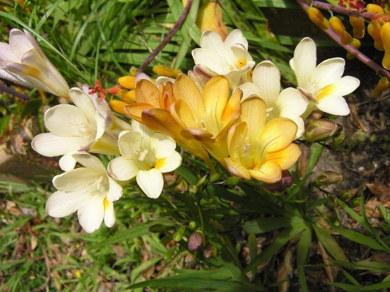 How To Store Freesia Bulbs In 3 Easy Steps