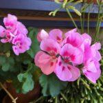 How To Fertilize Geraniums? The Trick!