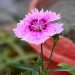 How To Grow Dianthus In Pots? 2 Bonus Steps!
