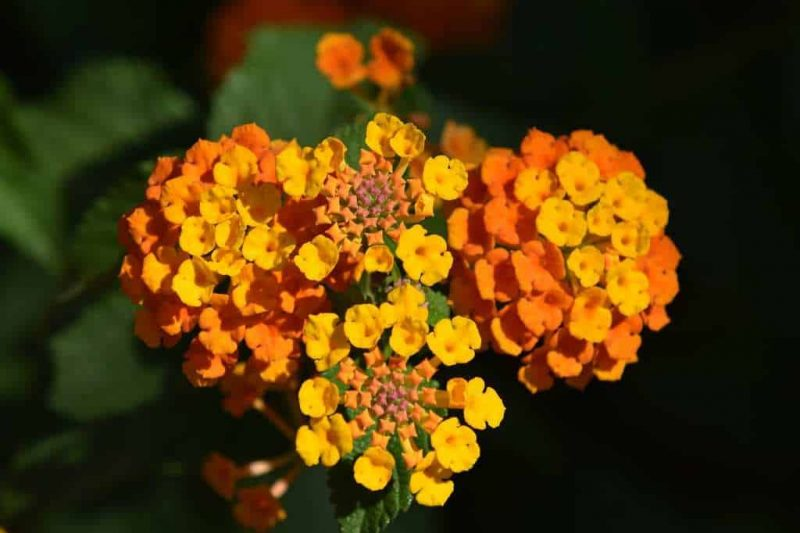 How to Propagate Lantana: Best Practices