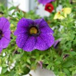 How to Grow Calibrachoa? The Trick!