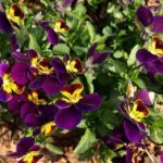 How To Propagate Pansies? 3 Proven Ways!