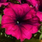 How To Collect Petunia Seeds? 3 Bonus Steps!