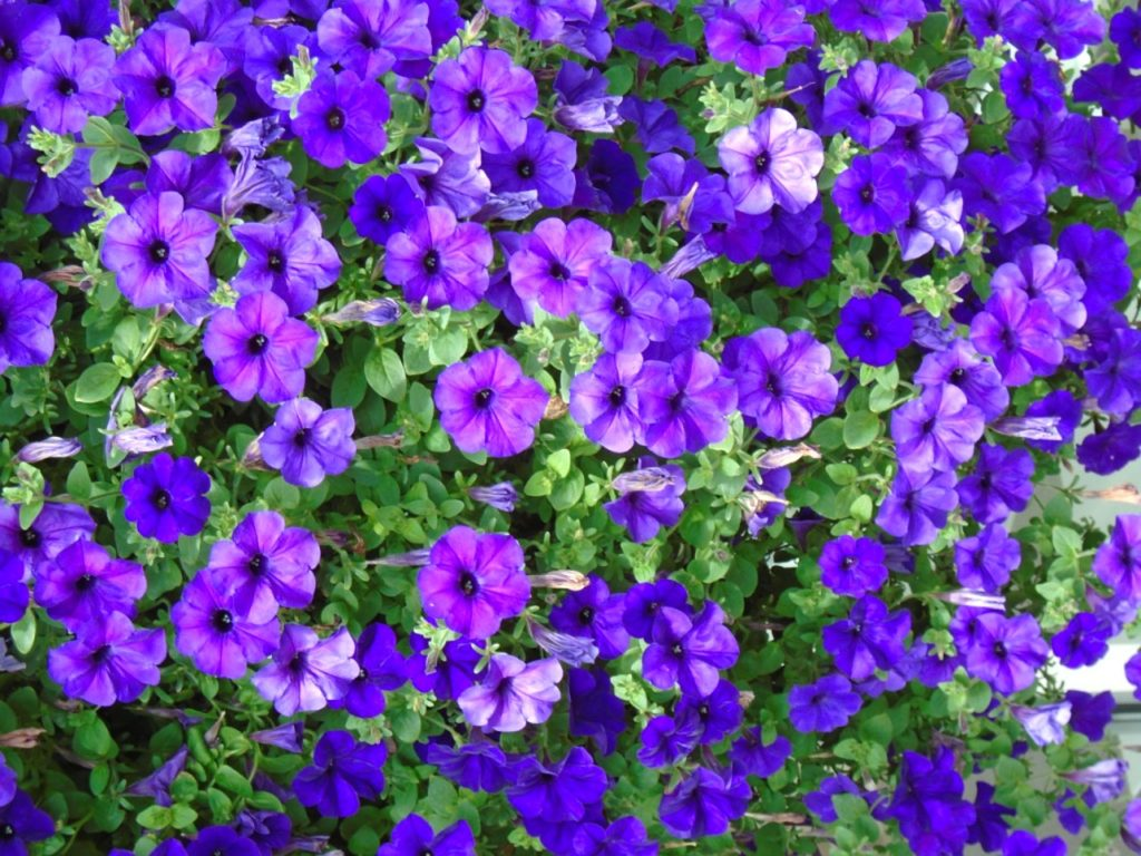 Best Guide On How To Propagate Impatiens