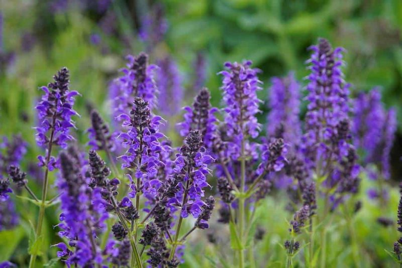 How to Propagate Salvias from Cuttings Successfully