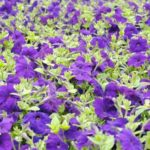 How To Trim Back Petunias? 3 Questions Answered!