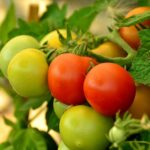 5 Free Tips Of How To Breed Tomatoes?