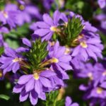 How to Care for Scaevola? The Clue!