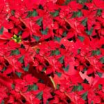 How To Propagate Poinsettias? 4 Free Steps!