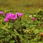 How To Get Rid Of Wild Rose Bushes? 2 Secret Options!