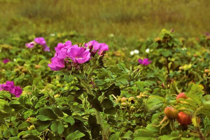 How To Get Rid Of Wild Rose Bushes Successfully