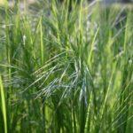 How To Divide Ornamental Grasses? 2 Efficient Steps!