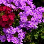 How To Grow Verbena From Seed? 3 Proven Steps!