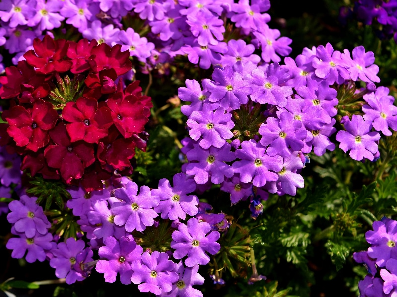 How To Grow Verbena From Seed In 3 Easy Steps