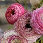How to Keep Gerbera Daisies Blooming? 6 Free Tips!