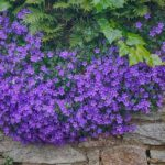 How to Grow Campanula? 6 Proven Tips!
