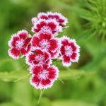 How to Deadhead Dianthus? 5 Bonus Steps?