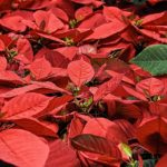 How to Turn a Poinsettia Red? 5 Free Tips!
