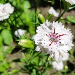 How To Propagate Dianthus? 3 Proven Options!
