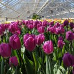 How To Care For Hydroponic Tulips? 3 Bonus Steps!