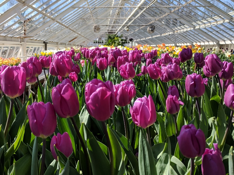 How To Care For Hydroponic Tulips For Success