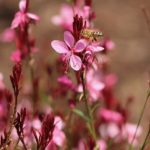 How To Propagate Gaura? 3 Proven Options!