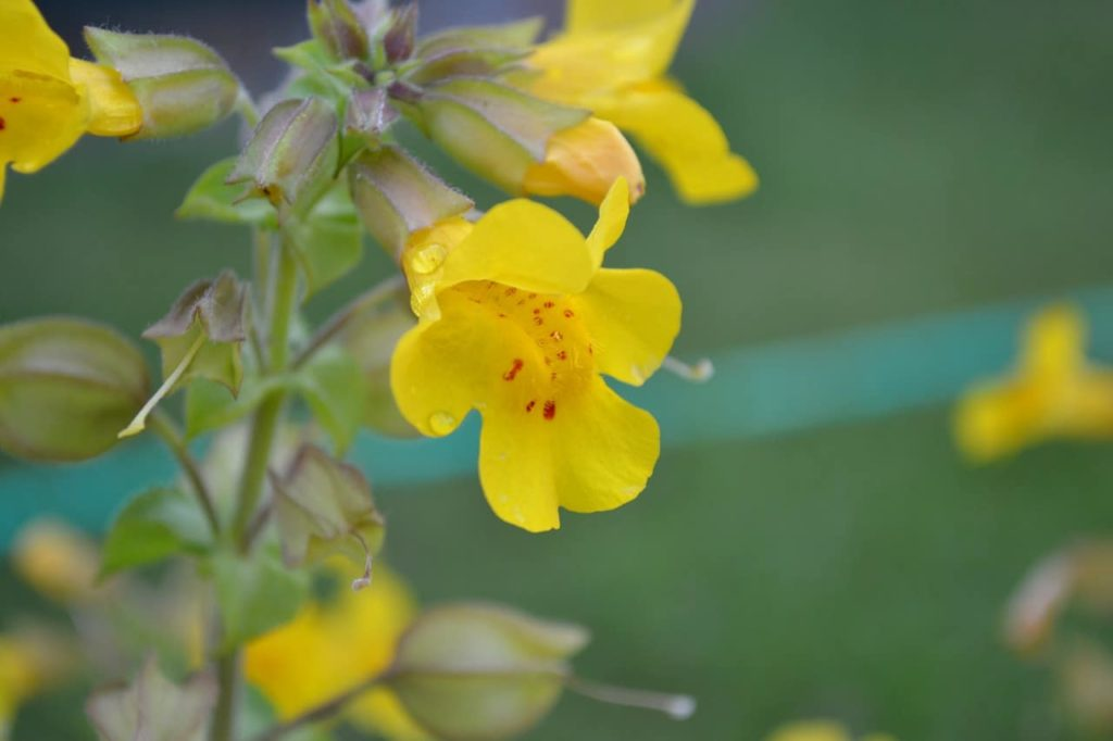 How To Grow Mimulus In 2 Easy Steps