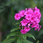 How To Propagate Phlox? The Trick!