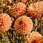 How to Pinch Out Dahlias? More Answered!