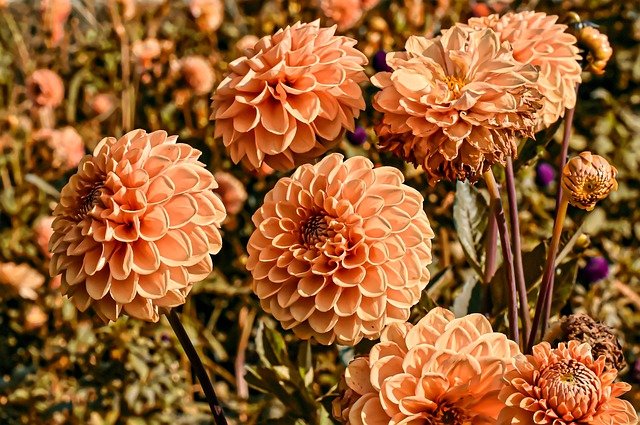 How to Pinch Dahlias: What You Need to Know